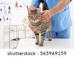 veterinarian examining cat in... | Shutterstock . vector #565969159