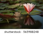 white water lily. | Shutterstock . vector #565988248