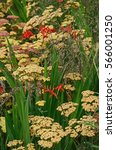 Small photo of Close up of the exotic Crocosmia Lucifer and Achillea Paprika in a cottage garden