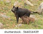 Wild Boar Feeding Two Piglets...