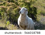 A Pensive Looking Sheep In New...