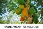 Papaya  Papaya  Tree  Fruit