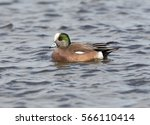 Small photo of American widgeon on river in Cambridge, Md