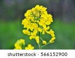 Field Of Yellow Flowering...