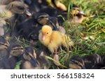 Yellow Duckling Among Black An...