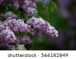 lilac bush  lilac background | Shutterstock . vector #566182849