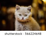 Stock photo cute little kitten 566224648