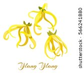 ylang ylang tropical flower ... | Shutterstock .eps vector #566241880