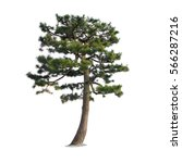 Pine Tree Isolated On A White...