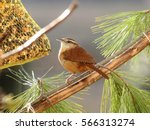 Carolina Wren On A Branch  ...