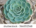 beautiful natural succulents... | Shutterstock . vector #566352568