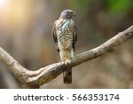 Small photo of Crested Goshawk ( Accipiter trivirgatus ) resting on one leg, suspected injury by bleeding under neck.