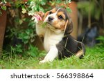 purebred beagle puppy is... | Shutterstock . vector #566398864