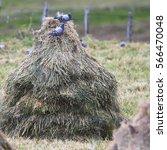 Small photo of Rock Doves (Columba livia) feeding on oat seeds in a stook, Shetland, Scotland, UK.