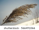 Reed Tip With Winter Background