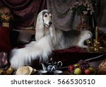 White Afghan Hound Dog Lying O...