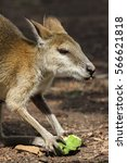 Small photo of Close up of an Agile wallaby feeding on fruit, Northern Territory, Australia