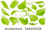 Fresh Green Lettuce Leaves...