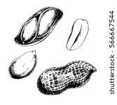 vector set of peanuts. ink...   Shutterstock .eps vector #566667544
