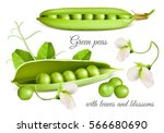 green peas with blossoms and... | Shutterstock .eps vector #566680690