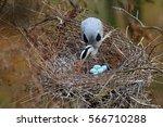 grey heron  ardea cinerea  in... | Shutterstock . vector #566710288
