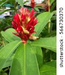 Small photo of Red alpinia in the garden