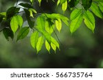 Leaves With Backlit From...
