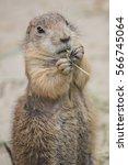 Prairie Dog Eats