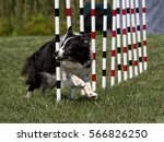 Small photo of Agility Dog Doing Weave Poles