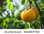 Yellow Tomatoes In The Garden