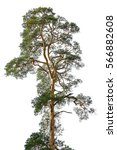 high pine on an isolated white... | Shutterstock . vector #566882608