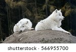 A Pair Of The Arctic Wolfs ...