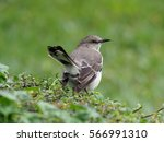 Northern Mockingbird Back And...