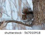 Eastern Grey Squirrel Perching...