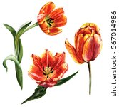 Wildflower Tulip Flower In A...