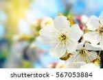 Spring Cherry Blossoms Closeup...