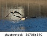 Canada Geese Flying Over Lake