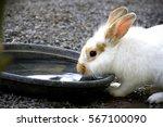 Little Rabbit Drink Water On...