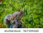 an eastern gray squirrel rests... | Shutterstock . vector #567104260