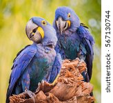 Pair Of Mating Hyacinth Macaws
