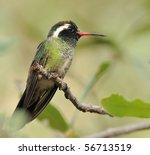 White Eared Hummingbird...