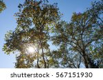 sun shines through the leaves. | Shutterstock . vector #567151930