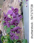 Small photo of Close up bouquet of purple orchids (vanda) in thailand