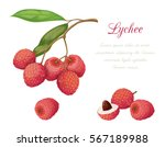 vector illustration of lychee...