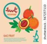 gac fruit health benefits of... | Shutterstock .eps vector #567257110
