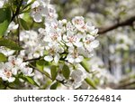 Flowering Pear In The Spring...