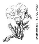 white bindweed flower blossom.... | Shutterstock . vector #567274930