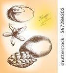 hand drawn mango fruits set | Shutterstock .eps vector #567286303