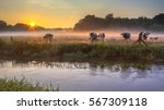 river the dinkel with cows on... | Shutterstock . vector #567309118