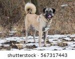 anatolian dog | Shutterstock . vector #567317443